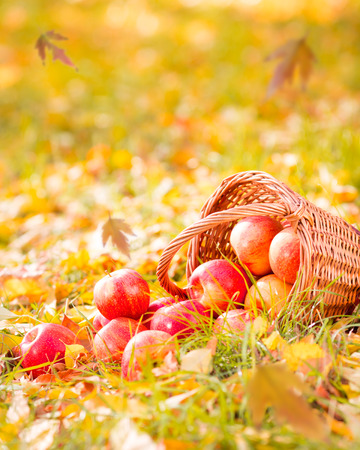 Autumn fruits outdoors. Basket of red apples. Thanksgiving holiday concept