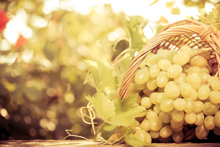white grape: Grapes of vine in basket against blurred autumn leaves background Stock Photo