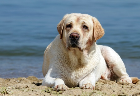yellow labrador laying at the beach at the sea photo