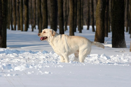 yellow labrador rinning in the snow in winter Stock Photo - 12031098
