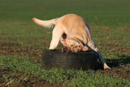 A yellow labrador playing with an old tire in the field in summer photo