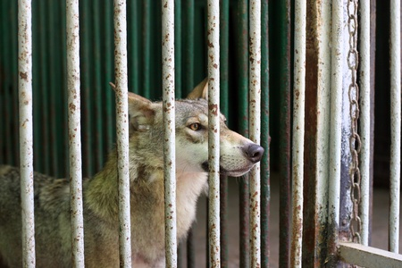 Wolf in the cage at the zoo photo