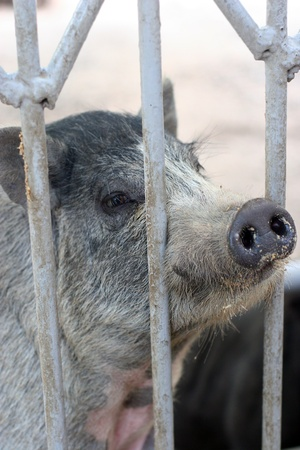 Wild boar in a cage at the zoo Stock Photo