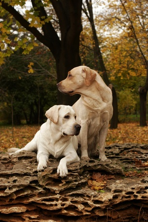 two yellow labradors sitting on the big stone in the park in autumn photo
