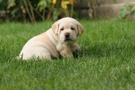 yellow a month-old labrador puppy in the grass looking at you