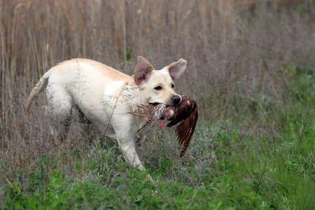 gr: Yellow Labrador carrying a bird competing in field trial competition Stock Photo