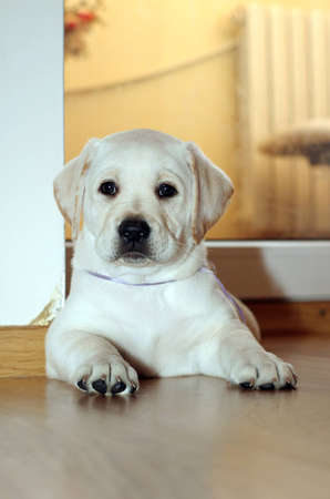yellow labrador puppy of 1,5 months laying on the floor at home Stock Photo