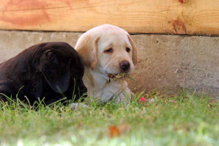 yellow and black a month-old labrador puppies playing in the grass photo