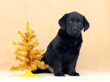 black labrador puppy with golden Christmas tree photo
