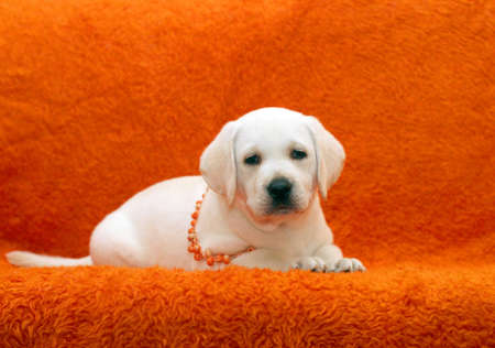 funny labrador puppy in orange beads portrait photo