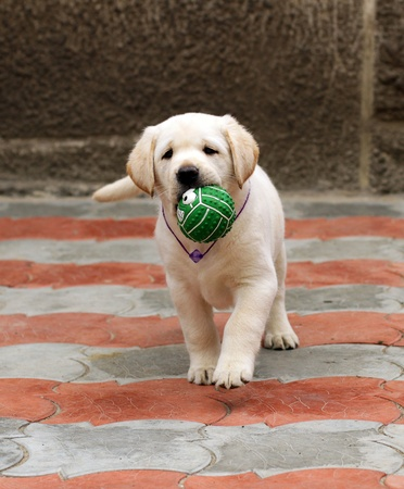 labrador puppy running with a green ball photo