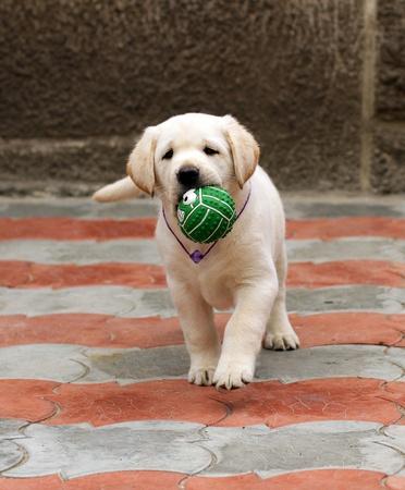 yellow ball: labrador puppy running with a green ball Stock Photo