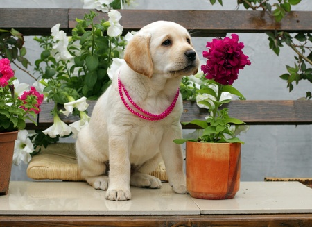 labrador puppy in red beads with red and white flowers photo