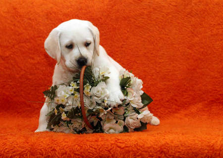 yellow labrador puppy playing with white flowers photo