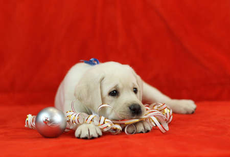 yellow labrador puppy with New Year (Christmas) toys on red background photo