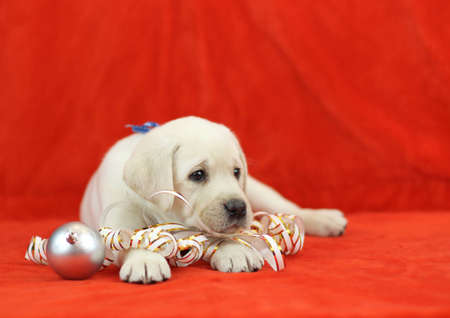 labrador christmas: yellow labrador puppy with New Year (Christmas) toys on red background