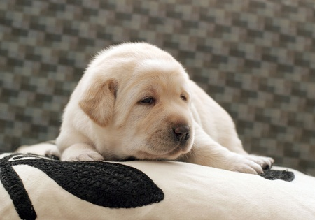 cute yellow labrador puppy of 3 weeks old photo