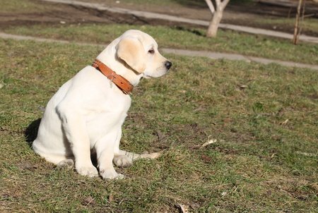 yellow labrador puppy on the grass in spring photo