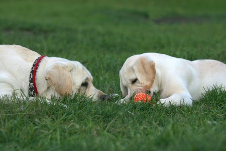 two yellow labradors (adult and puppy) playing with a ball photo