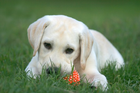 yellow labrador puppy playing with a ball photo