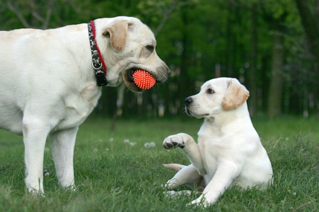 two yellow labradors (adult and puppy) playing with a ball Stock Photo