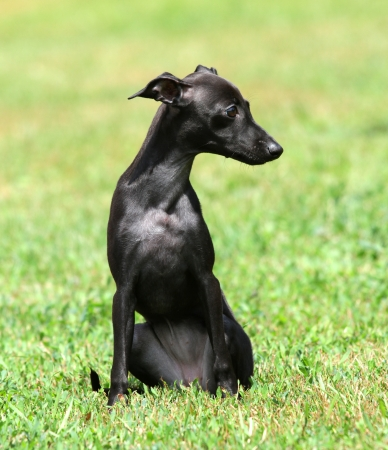 a black puppy purebred italian greyhound photo