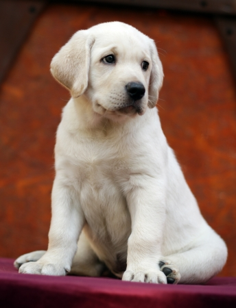 yellow labrador puppy sitting on the red table photo