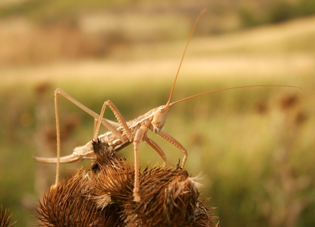 Praying mantis on the dry flower in summer photo