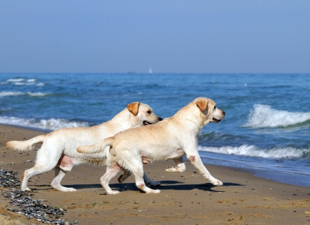 two yellow labradors running to the sea in summer photo