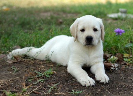 yellow labrador puppy laying in the garden on grass photo