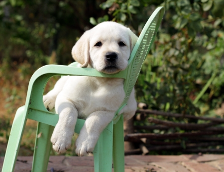 labrador puppy: yellow labrador puppy in the garden sitting on an old green chair Stock Photo
