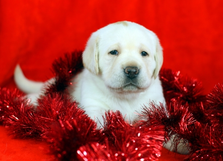 yellow labrador puppy with New Year  Christmas  toys on red background photo