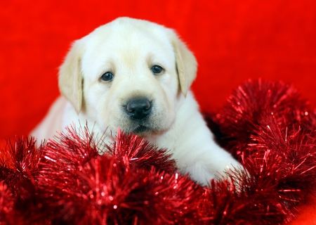 gift yellow labrador puppy with New Year  Christmas  toys on red background photo