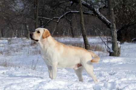 yellow labrador in the snow in winter Stock Photo - 17208164