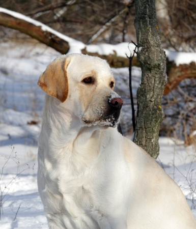 yellow labrador in winter in the park portrait Stock Photo - 17208136
