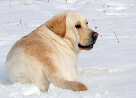 yellow labrador in the snow in winter portrait photo