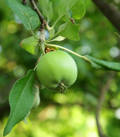 maturing: Green apple growing on tree