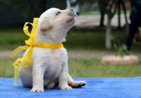 cute dog: yellow labrador puppy on the blue background Stock Photo