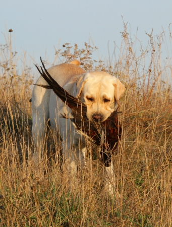 a hunting yellow labrador with a pheasant photo