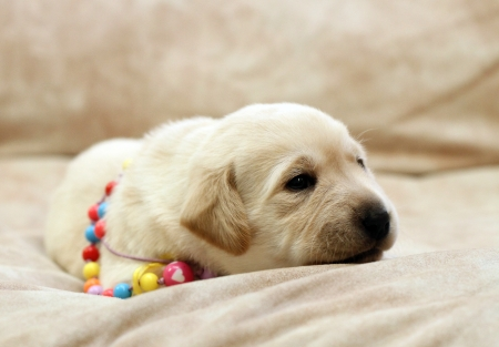 pale colour: sweet yellow labrador puppy on the pale background in colour beads