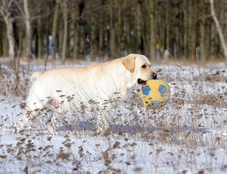 yellow labrador in the snow in winter with a ball photo
