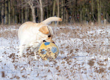 yellow labrador in the snow in winter running with a ball photo