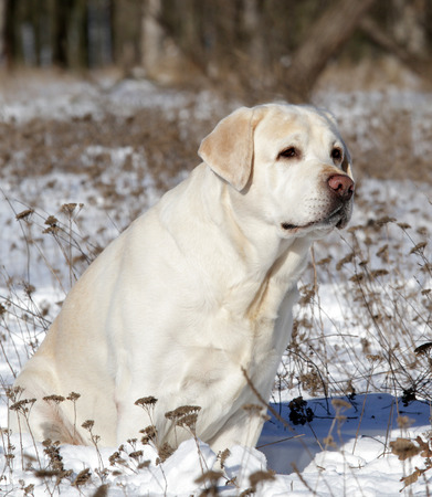 yellow labrador in the snow in winter photo