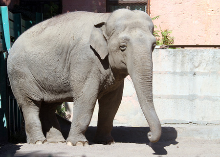 Elephant in the zoo cooling with sand Stock Photo