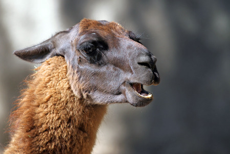 Portrait of Llama from South America in the zoo photo