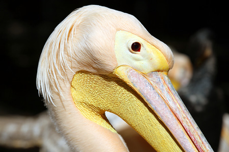 A great pelican (Pelecanus onocrotalus) in the zoo close up photo
