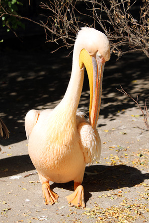 A great pelican (Pelecanus onocrotalus) in the zoo crying photo