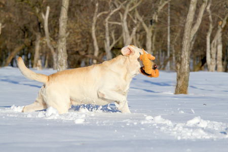 yellow labradors in the snow in winter running with a toy photo