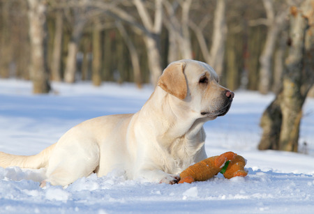 yellow labrador in the snow in winter with an orange toy photo