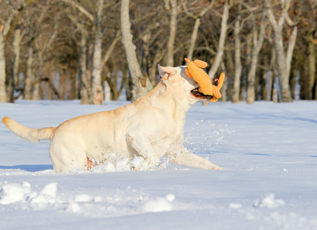 yellow labrador in the snow in winter running with a toy photo